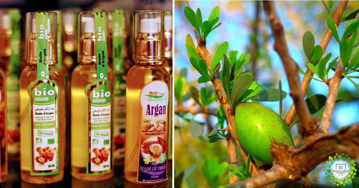 , ¿Qué es el aceite de argán?, beneficios, contraindicaciones y cómo usarlo