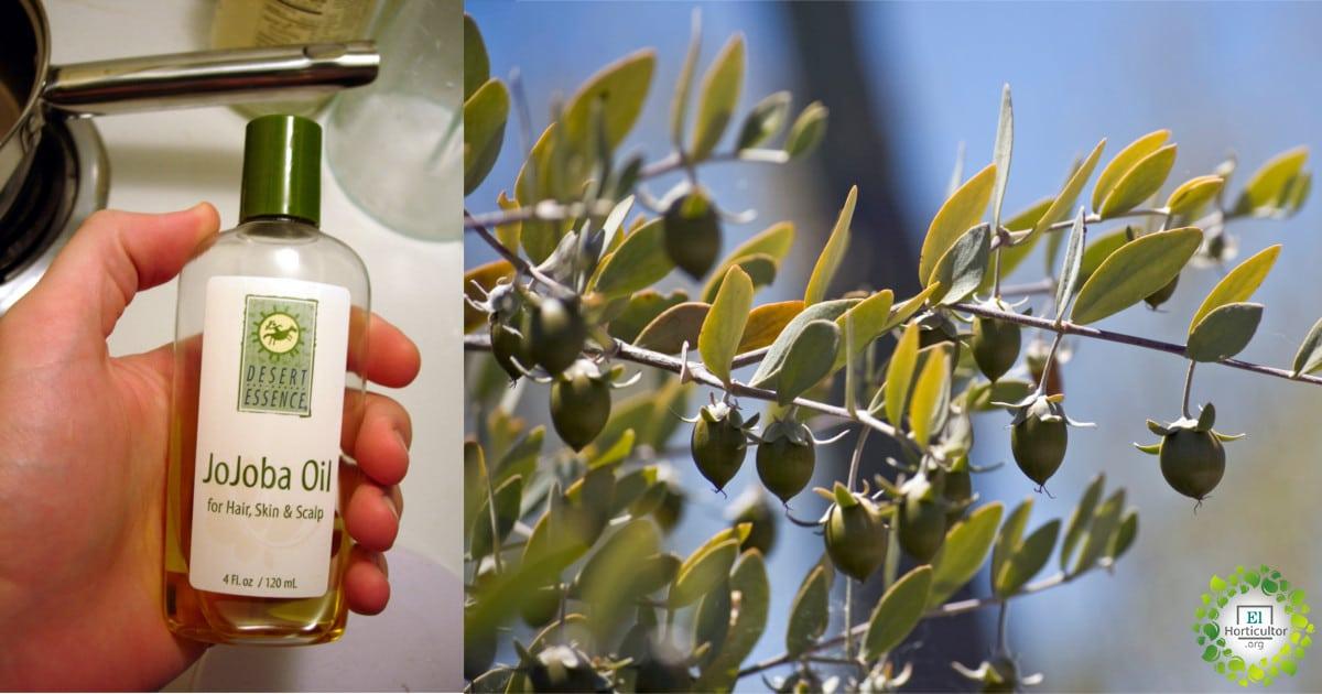 , Aceite de Jojoba, Propiedades, usos y Beneficios