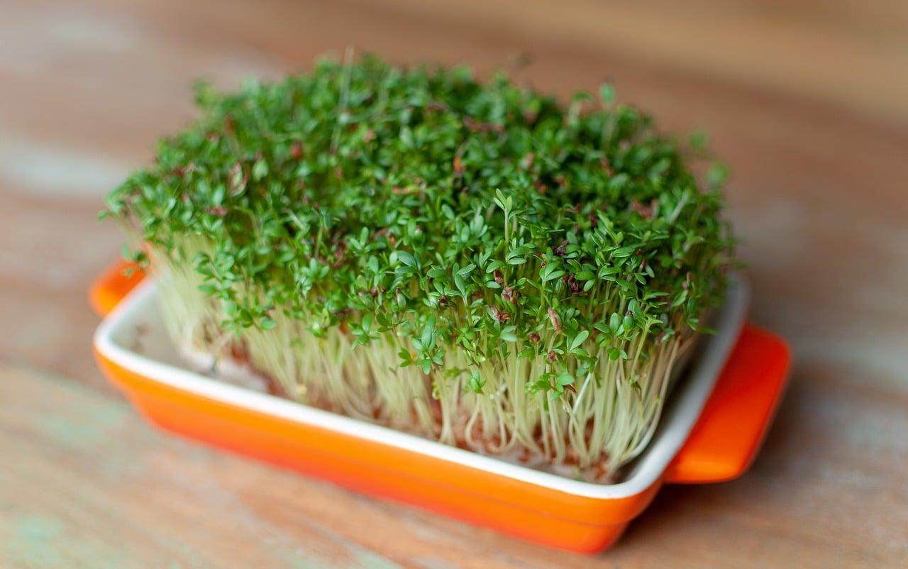 , 10 Microgreens o micro-verduras que todos pueden cultivar en Casa