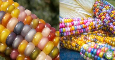 , Agricultor recupera hermosa variedad de Maíz ancestral que todos quieren tener