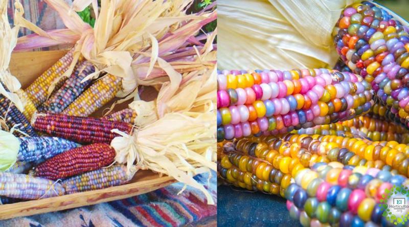 , Cómo Cultivar y Dónde conseguir las semillas del maíz Arcoíris