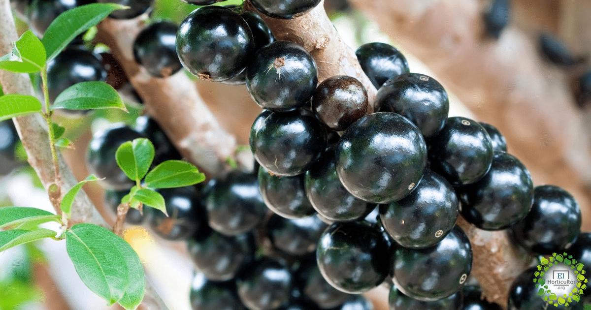 , Jaboticaba, la fruta Guaraní que se ha hecho viral en las redes y en el mundo