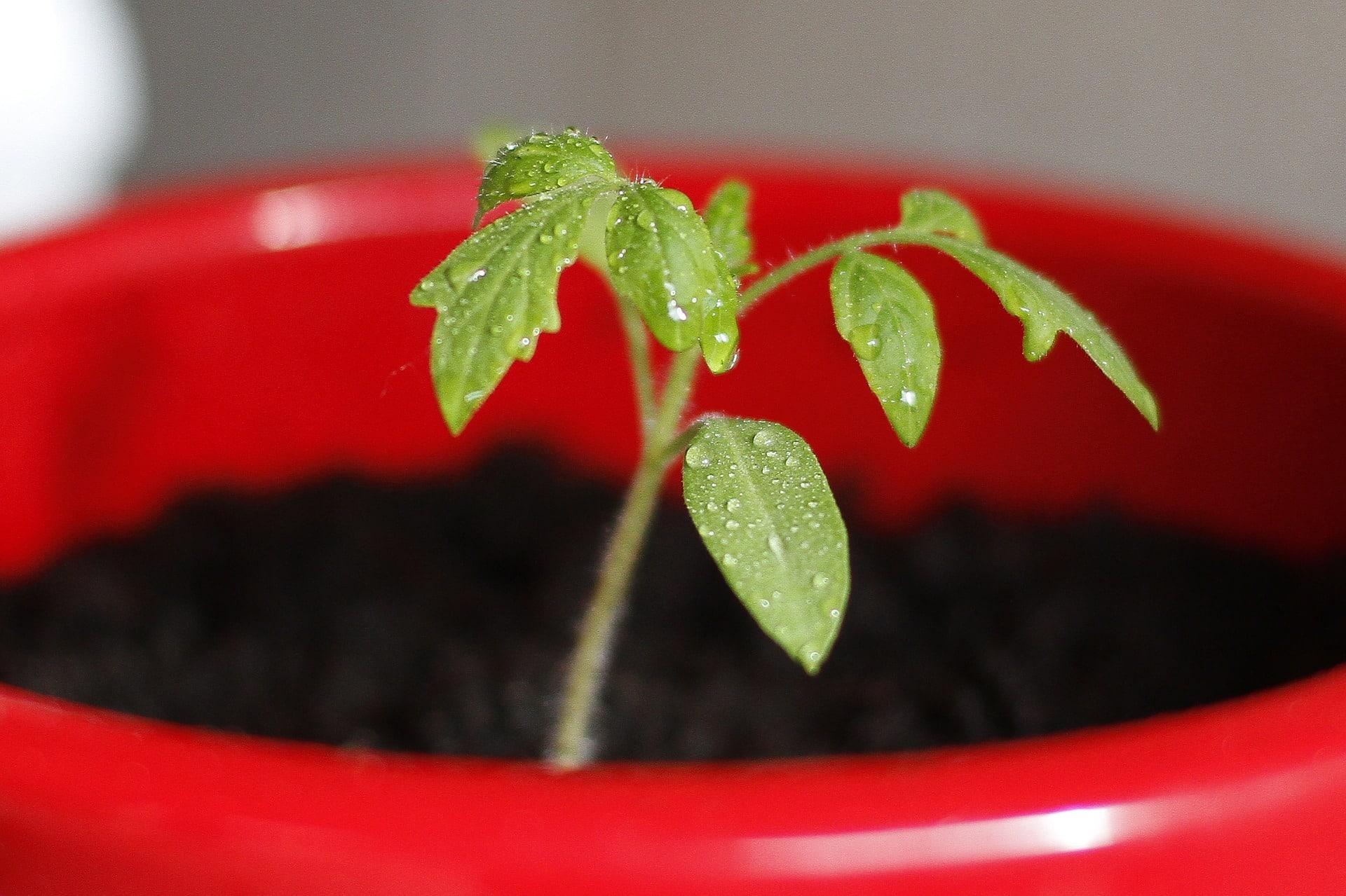 , Como y Porqué podar los chupones del tomate