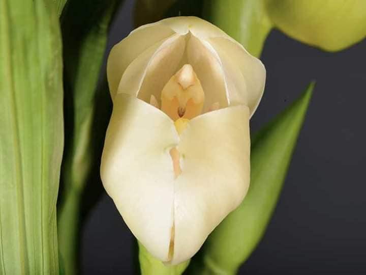 Conoce la orquídea