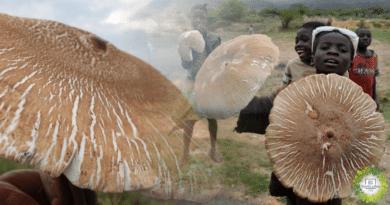 , El hongo comestible más grande del mundo es Africano y Medicinal