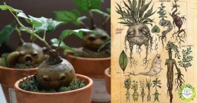 , Mandrágora, una planta misteriosa y sin dudas llamativa