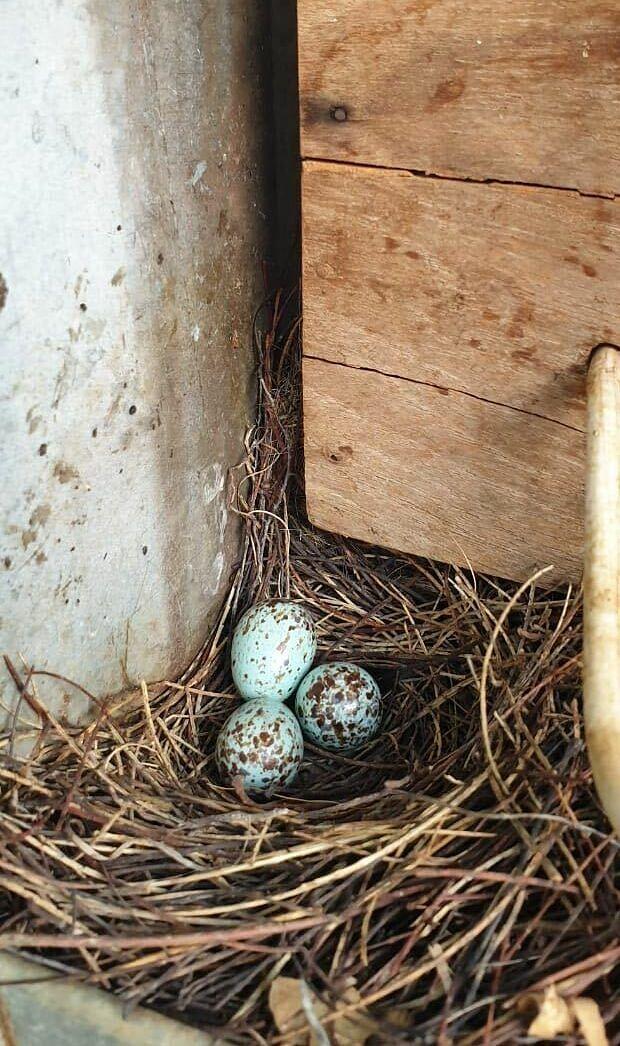 El pueblo que ha estado en la oscuridad durante más de un mes para salvar el nido de un petirrojo indio.
