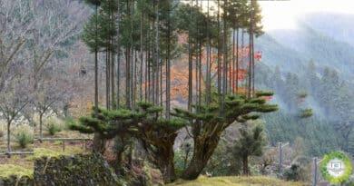 , Antigua técnica japonesa del siglo XIV permite producir madera sin talar árboles.