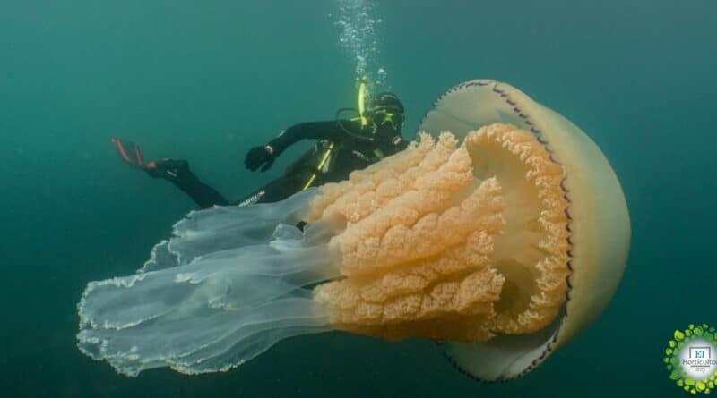 , Medusa del tamaño de un ser humano sorprende a documentalistas