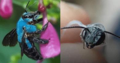 Reapareció en Estados Unidos una extraña abeja azul que se creía extinta