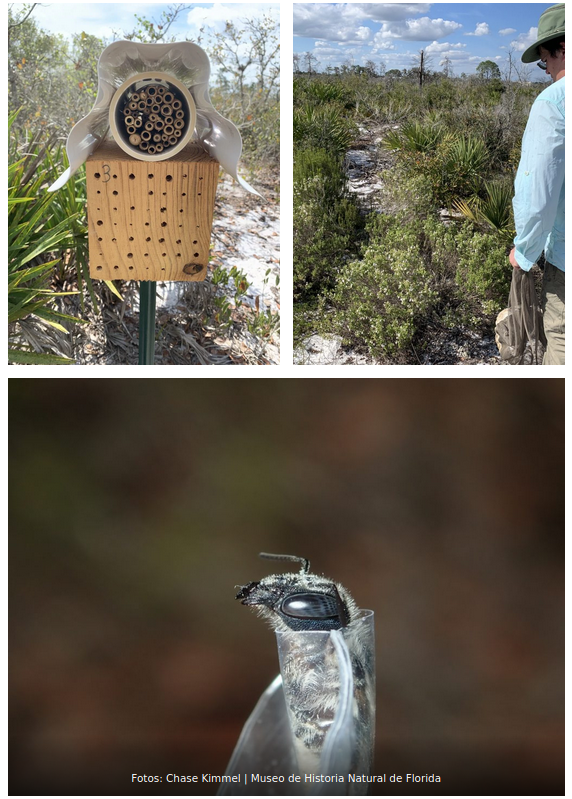 , Reapareció en Florida una extraña abeja azul que se creía extinta