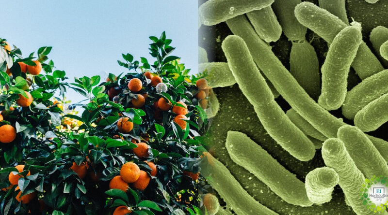 , Las bacterias en las hojas de naranjos pueden reducir el impacto de los pesticidas en la naturaleza