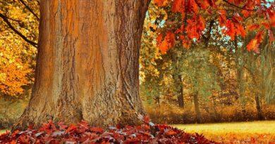 Canadienses se unen para salvar un árbol de 250 años, más antiguo que el propio país
