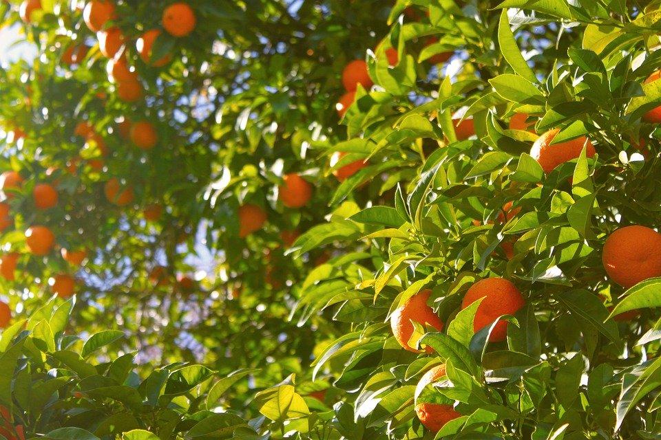 Las bacterias de las hojas de naranjos pueden reducir el impacto de los pesticidas en la naturaleza