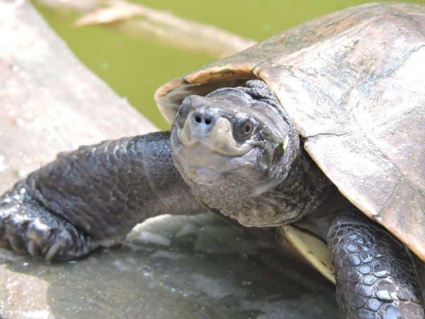 Reaparece tortuga de cara sonriente que se creía extinta desde hace casi 20 años
