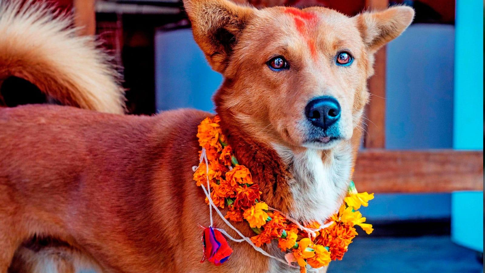 , En Nepal realizan un festival para agradecer a los Perros por ser nuestros amigos