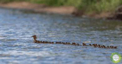 , Súper mamá 'vista en un lago de Minnesota – Con 56 patitos bajo su Cuidado