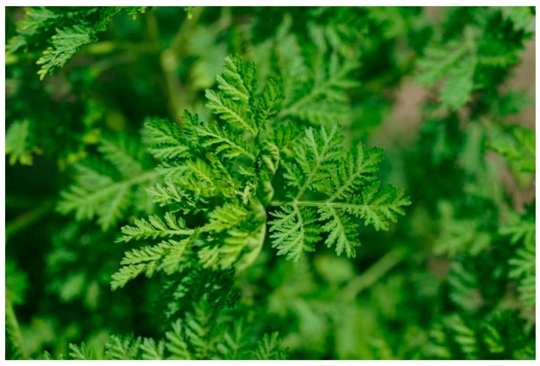 12 Beneficios de la Artemisa Annua, Qué es y para qué sirve
