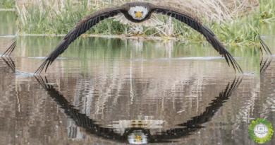 , Fotógrafo captura una imagen impresionante de un águila en un reflejo simétrico