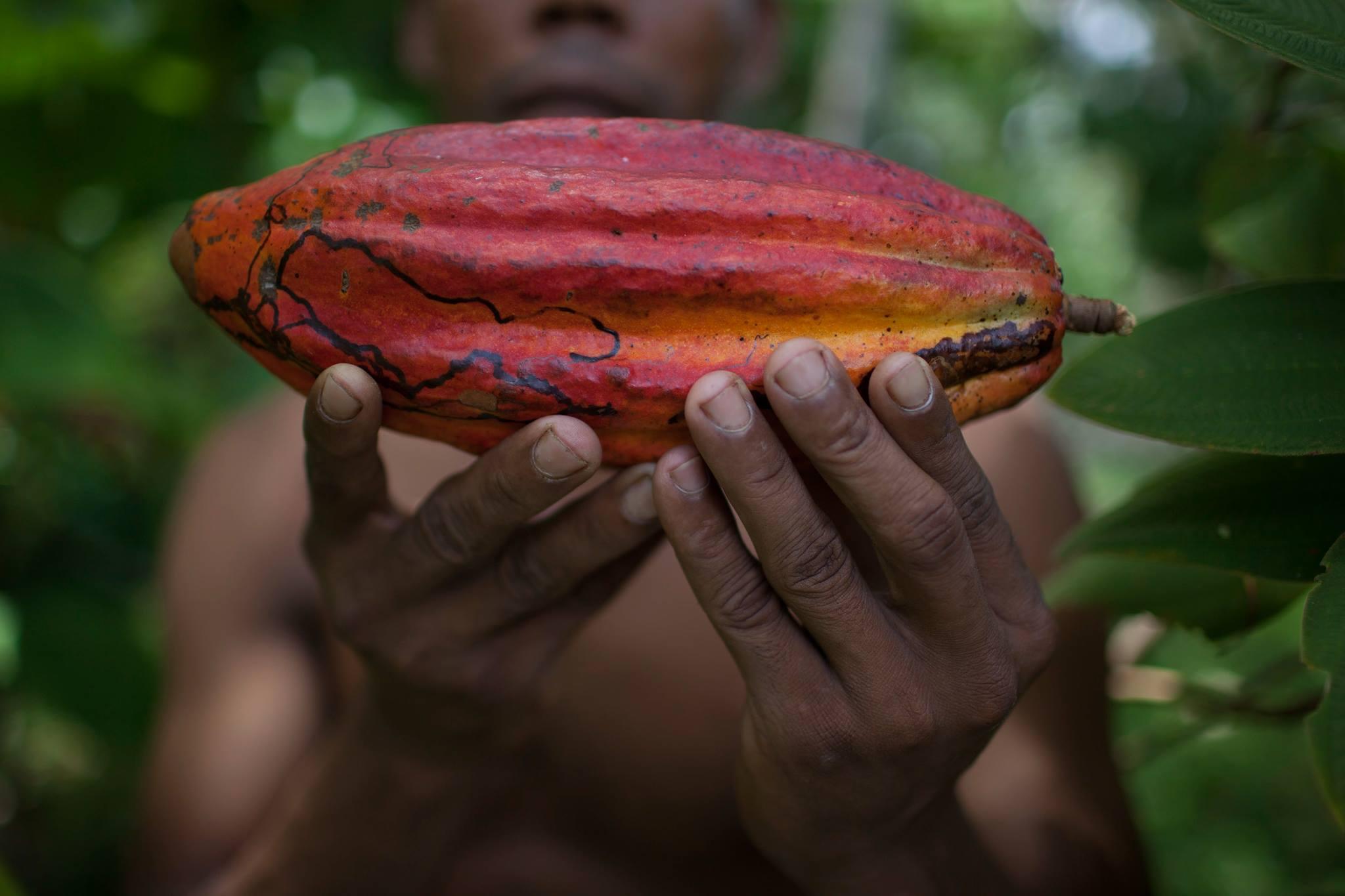 , El Cacao orgánico triplica los ingresos en los pequeños agricultores de Brasil