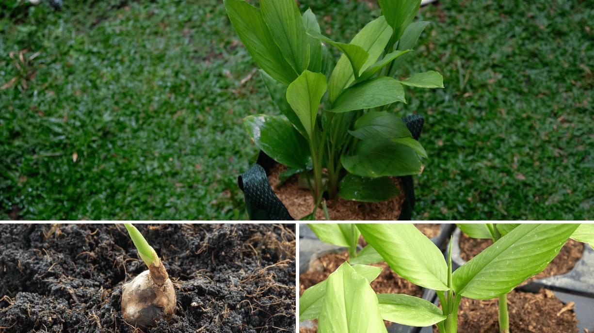 Cómo cultivar Cúrcuma en macetas