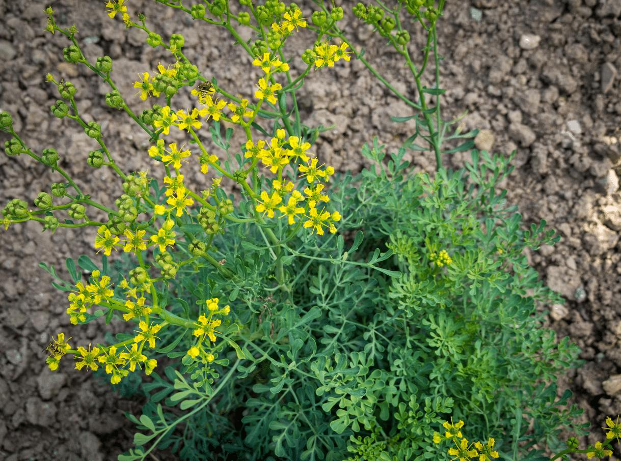 Cómo preparar incienso o sahumo con hierbas ruda
