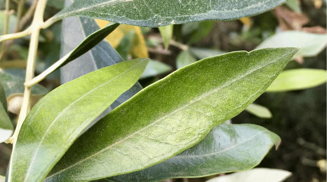 Propiedades de las hojas de olivo para osteoporosis