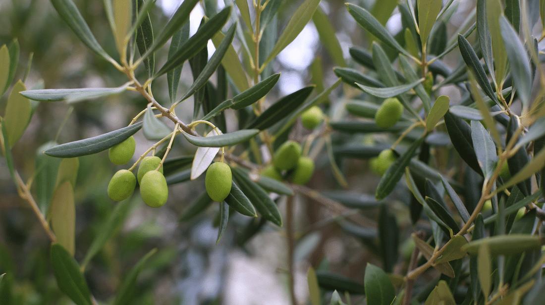 Propiedades de las hojas de olivo