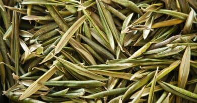 extracto de hoja de olivo