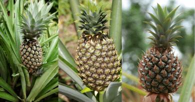 , Cómo plantar piña en maceta de manera orgánica