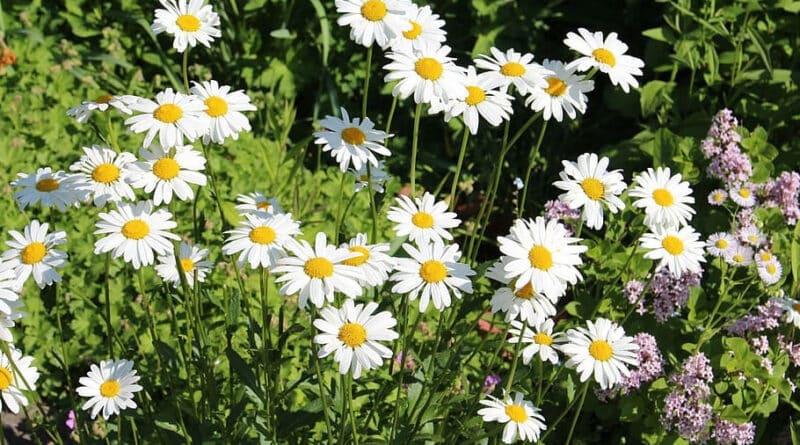 piretrina, Esta flor contiene piretrina, el insecticida natural más efectivo