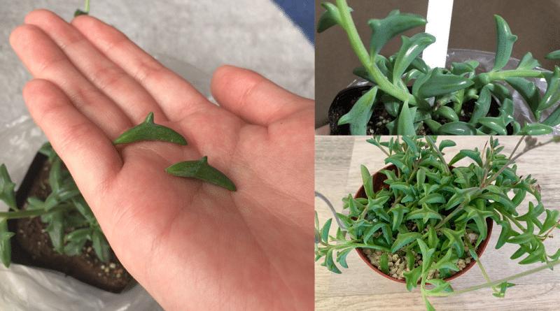 , Esta planta suculenta tiene hojas de delfines