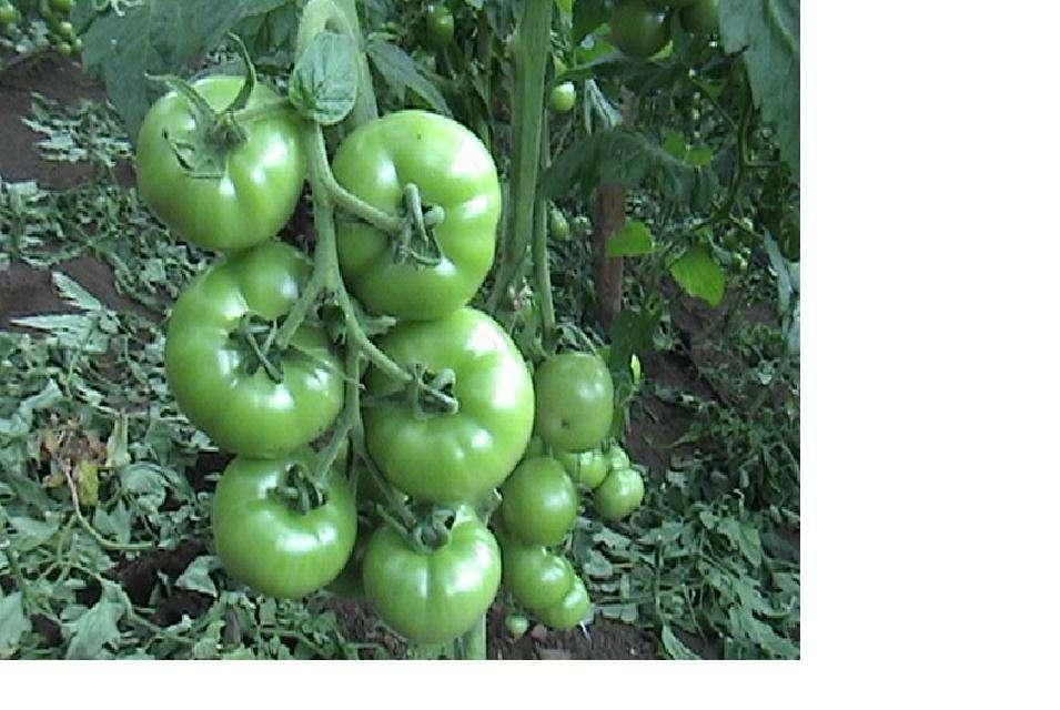 Todo sobre el cultivo de tomates - Cuando plantar tomates ...